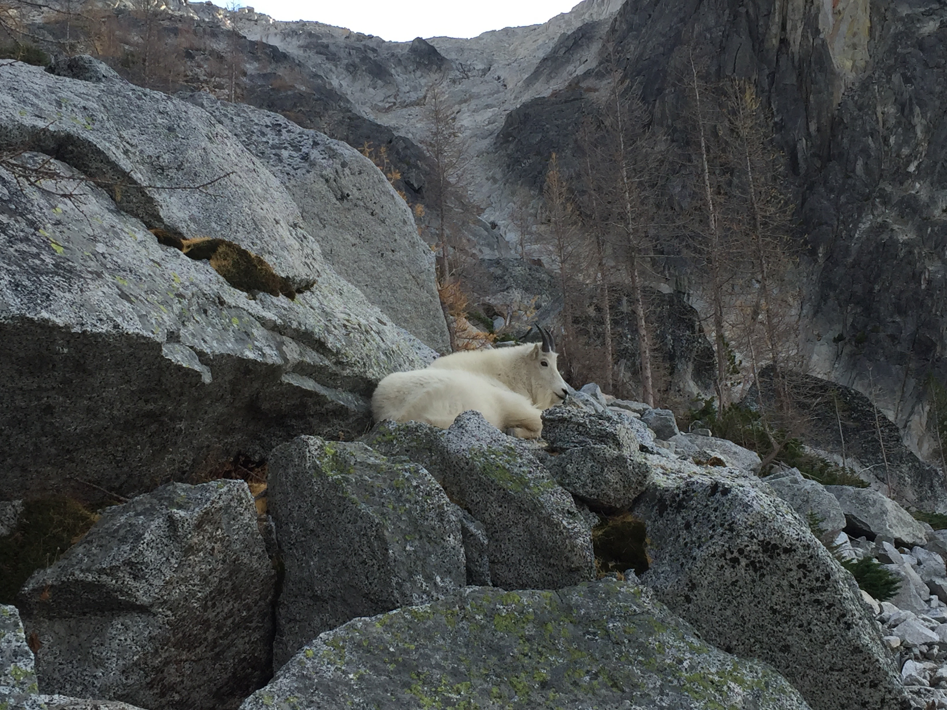 A mountain goat hanging out on Aasgard Pass